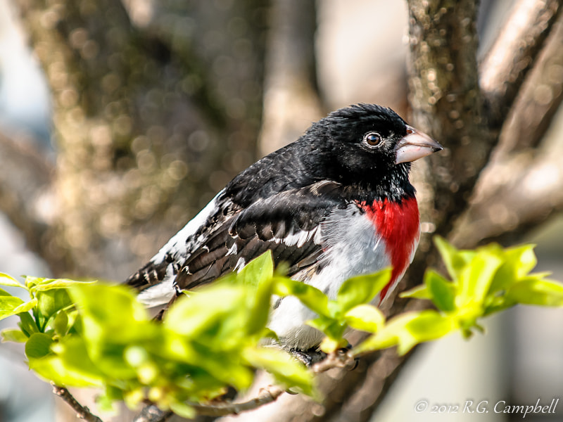 Photograph Rose-breasted Grosbeak by Russ Campbell on 500px