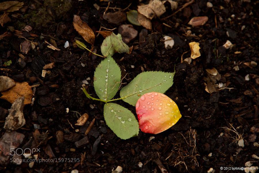 Photograph Once a rose by Benno Pütz on 500px