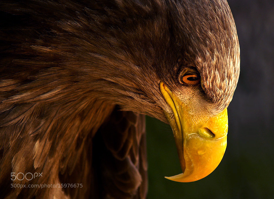 Photograph EAGLE by Adriana K.H. on 500px