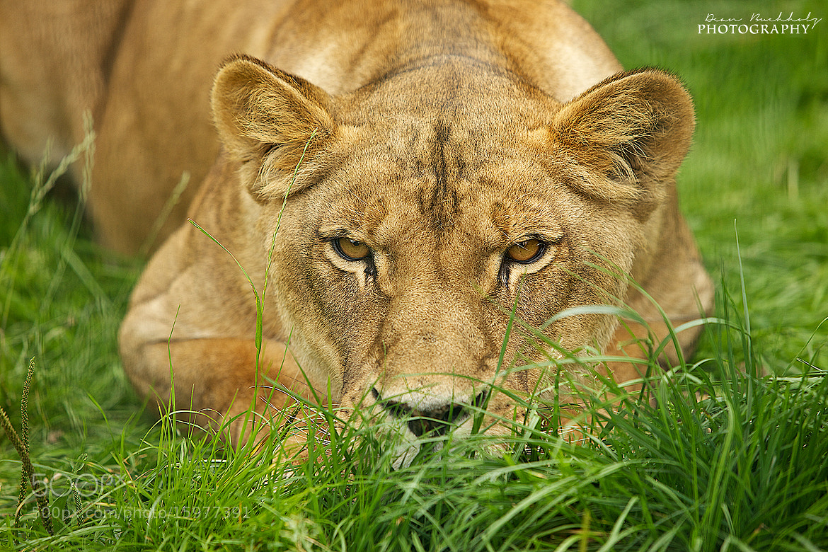 Photograph Lion - Löwe by Dean Buchholz on 500px