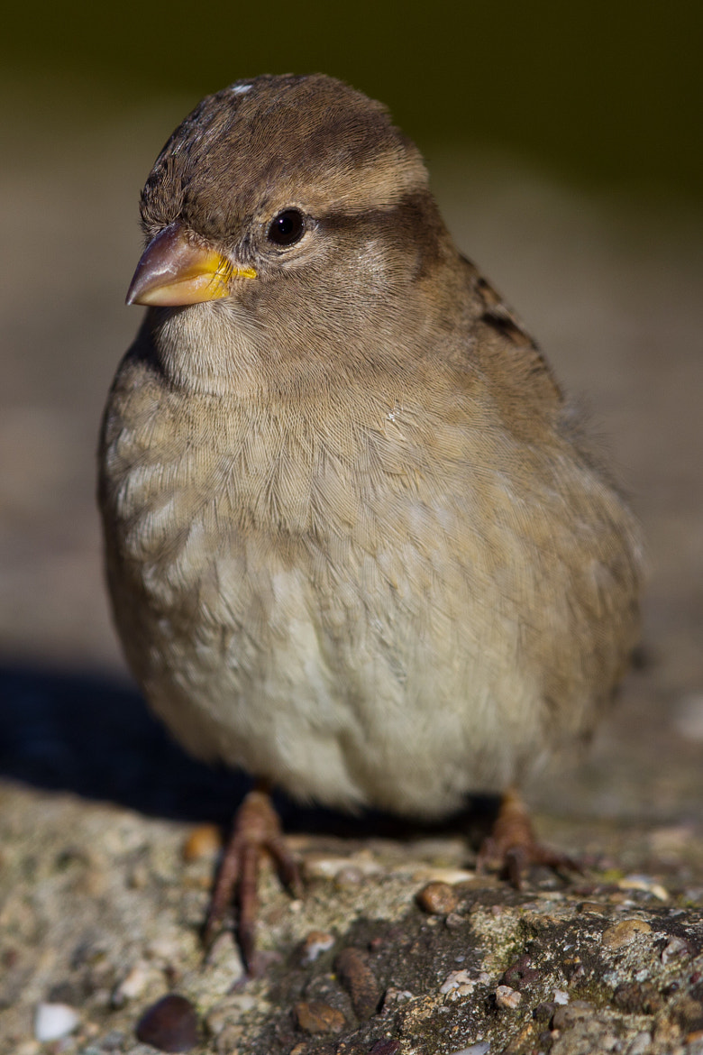 Photograph House Sparrow by Marc Gengler on 500px