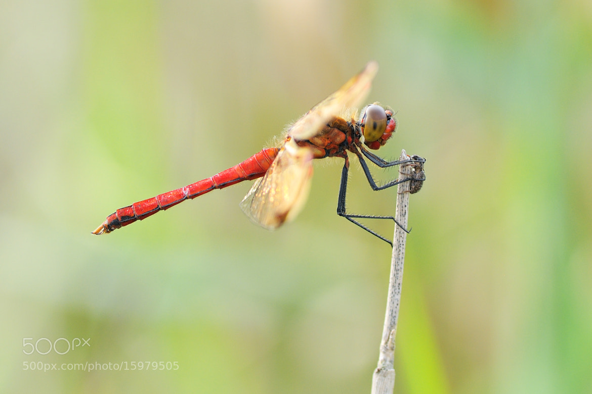 Photograph Sympetrum by Bertus van Rooijen on 500px