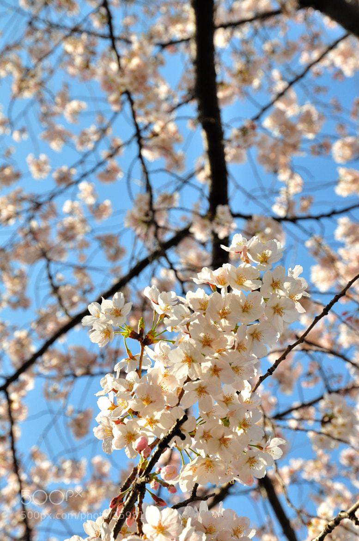Photograph Sakura by iDragon Studio on 500px