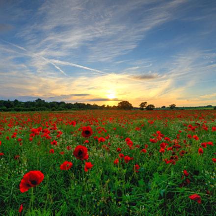 Midsummer Poppies