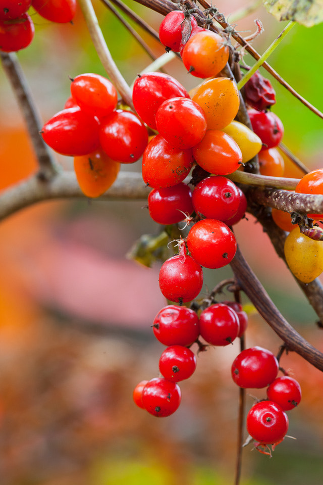 Photograph Black Bryony by Richard Loader on 500px