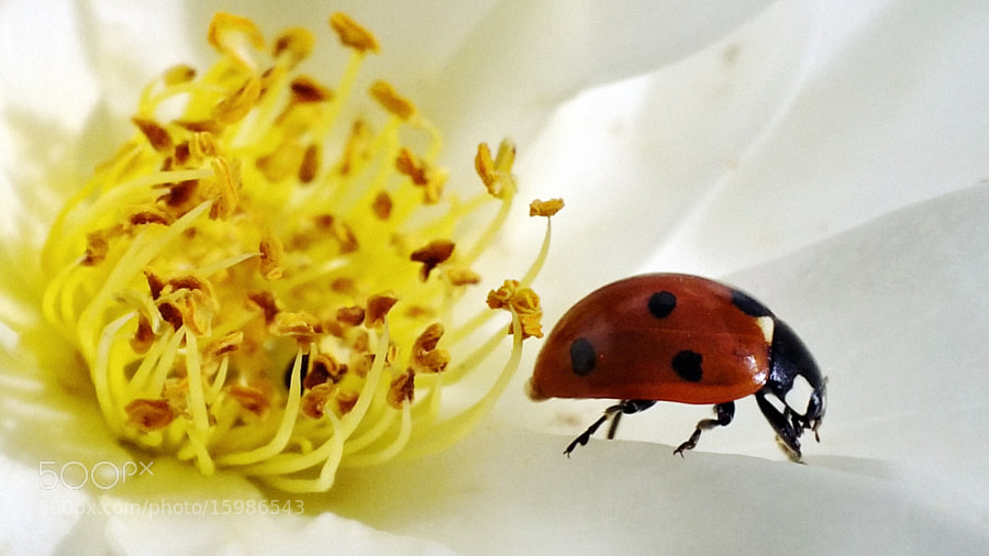 Photograph Ladybug by Dávid Detkó on 500px