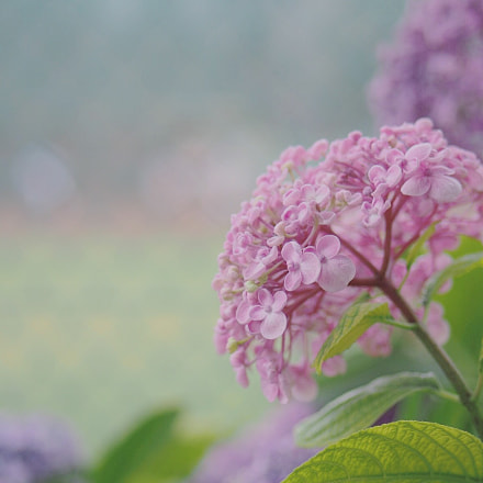 Popcorn hydrangea, Olympus E-PM2, Lumix G 42.5mm F1.7 Asph. Power OIS