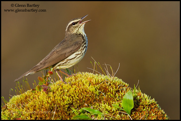 Photograph Northern Waterthrush (Seiurus noveboracensis) by Glenn Bartley on 500px