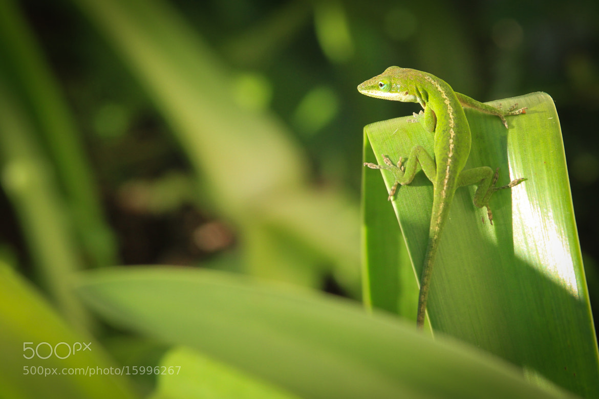 Photograph Green Anole by Jon Reaves on 500px