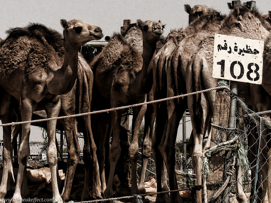 Camel Market by Donato Scarano on 500px.com
