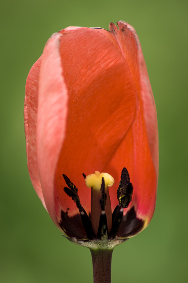 The inside of a tulip