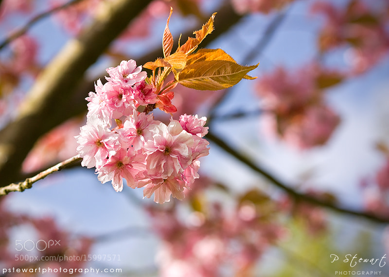 Photograph Pink Spring by Philip Stewart on 500px