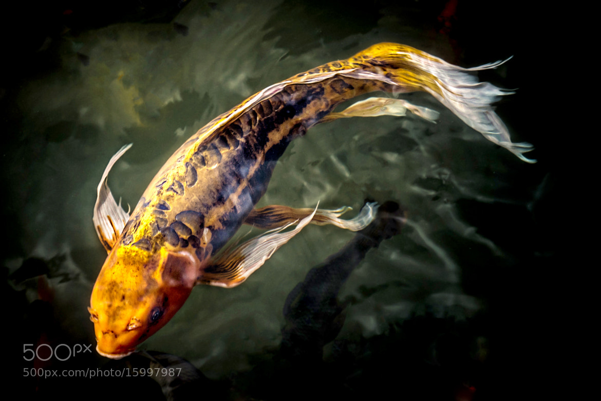 Photograph beautiful koi by bill boehm on 500px for Show me pictures of fish