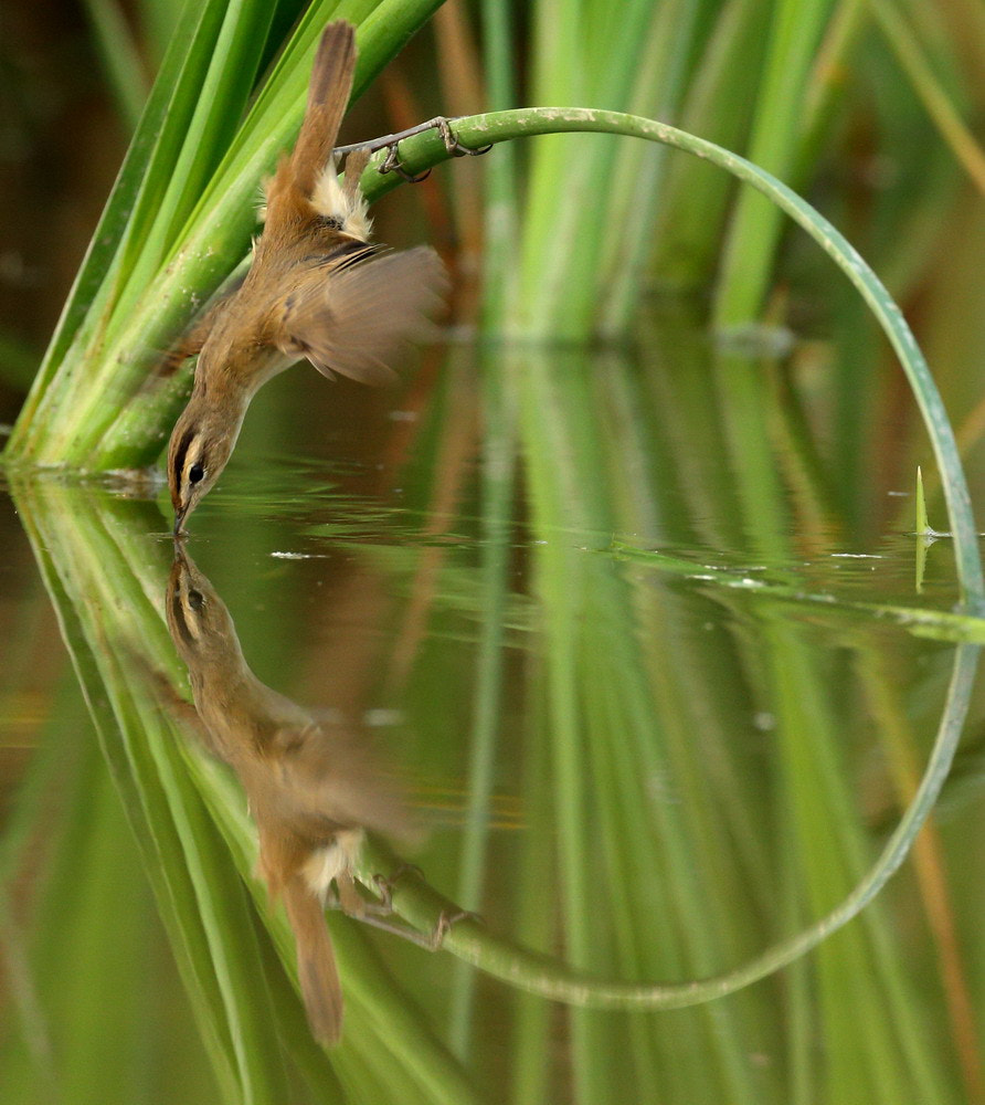 Photograph Black-browed Reed Warbler  by Woody L. Chu on 500px