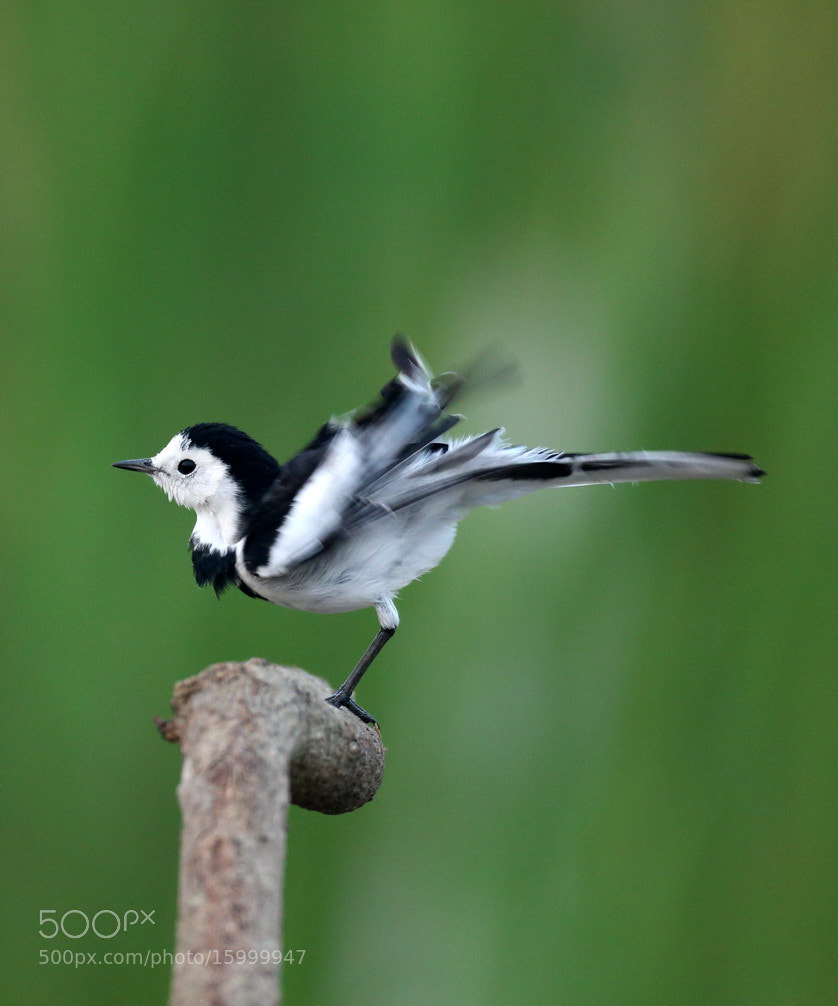 Photograph Pied Wagtail by woody L. chu on 500px