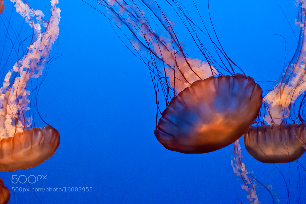 Photograph Jellyfish at the Monterrey Aquarium by Dan P on 500px