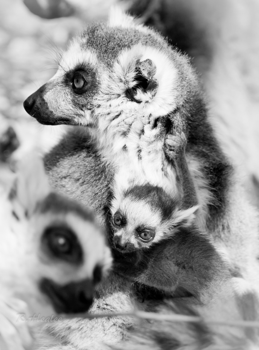 Photograph Baby Lemur  by Rebecca Healee on 500px