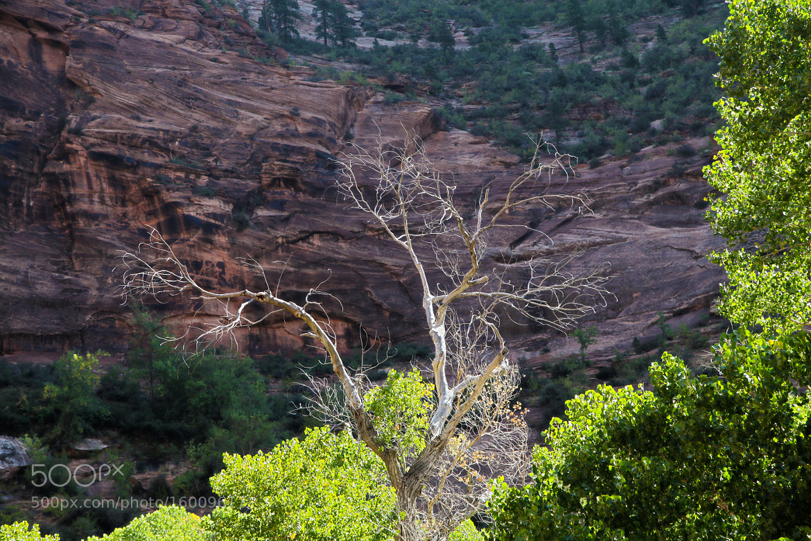 Photograph Twisted dead tree of Zion Mountain by Edward Lai on 500px