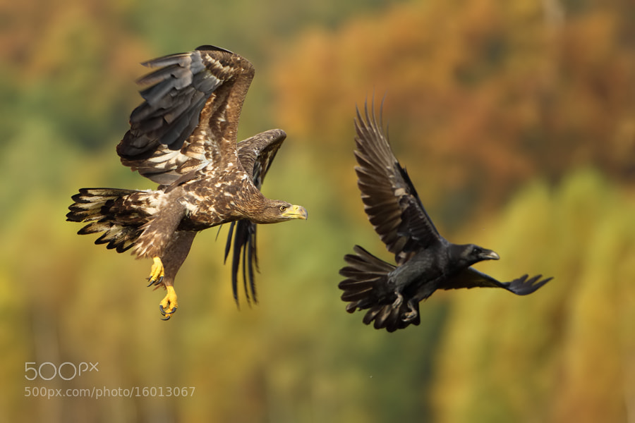 Photograph Autumn eagle by Marcin Nawrocki on 500px