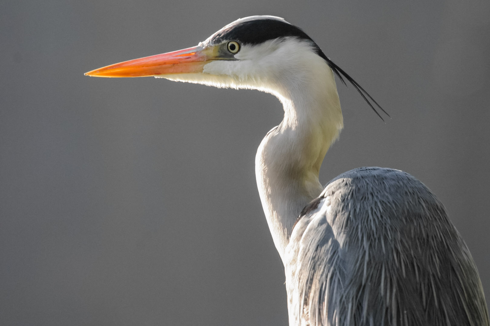 Photograph Grey Heron looking for is breakfast by Jean Luc Liaud on 500px