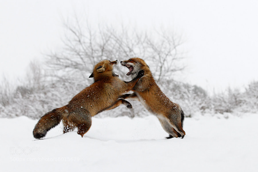Photograph Fox Fight in the Snow by Roeselien Raimond on 500px