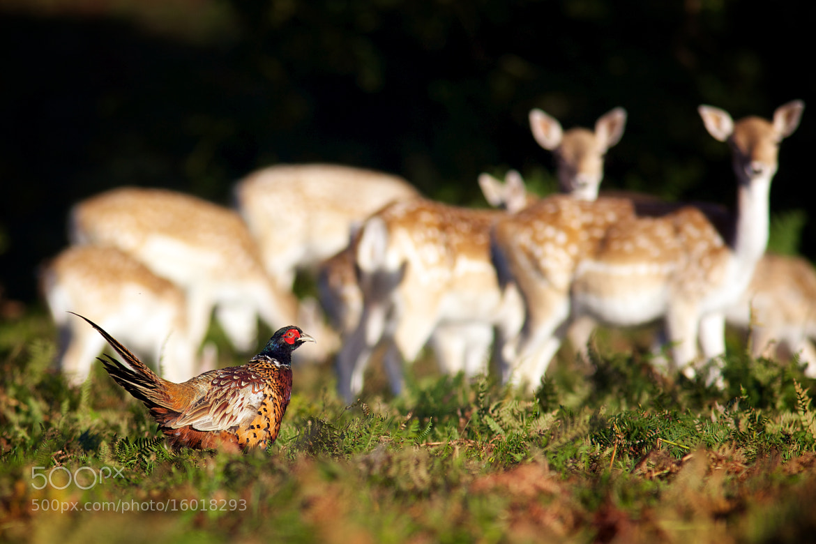 Photograph pheasant watching by Mark Bridger on 500px