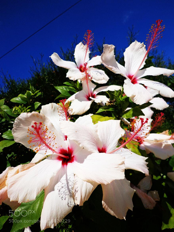 Photograph gumamela.. by little michelle on 500px