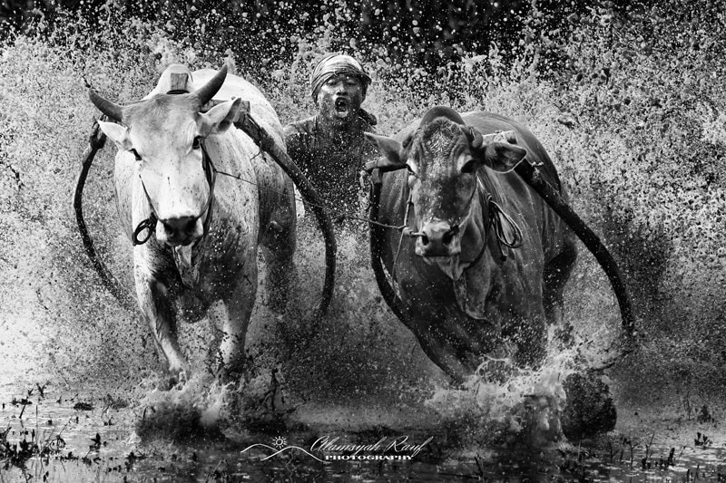 Photograph Buffalo Race by Alamsyah Rauf on 500px