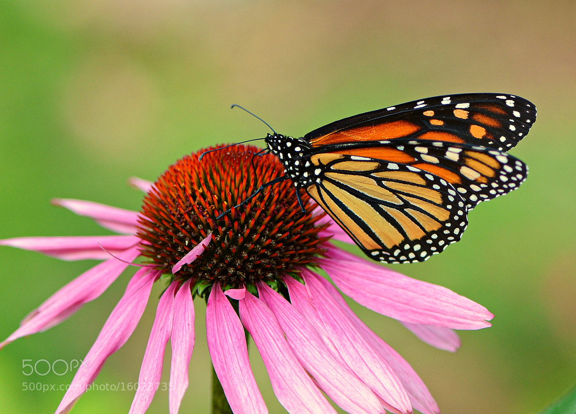Photograph Butterfly by Don McCabe on 500px