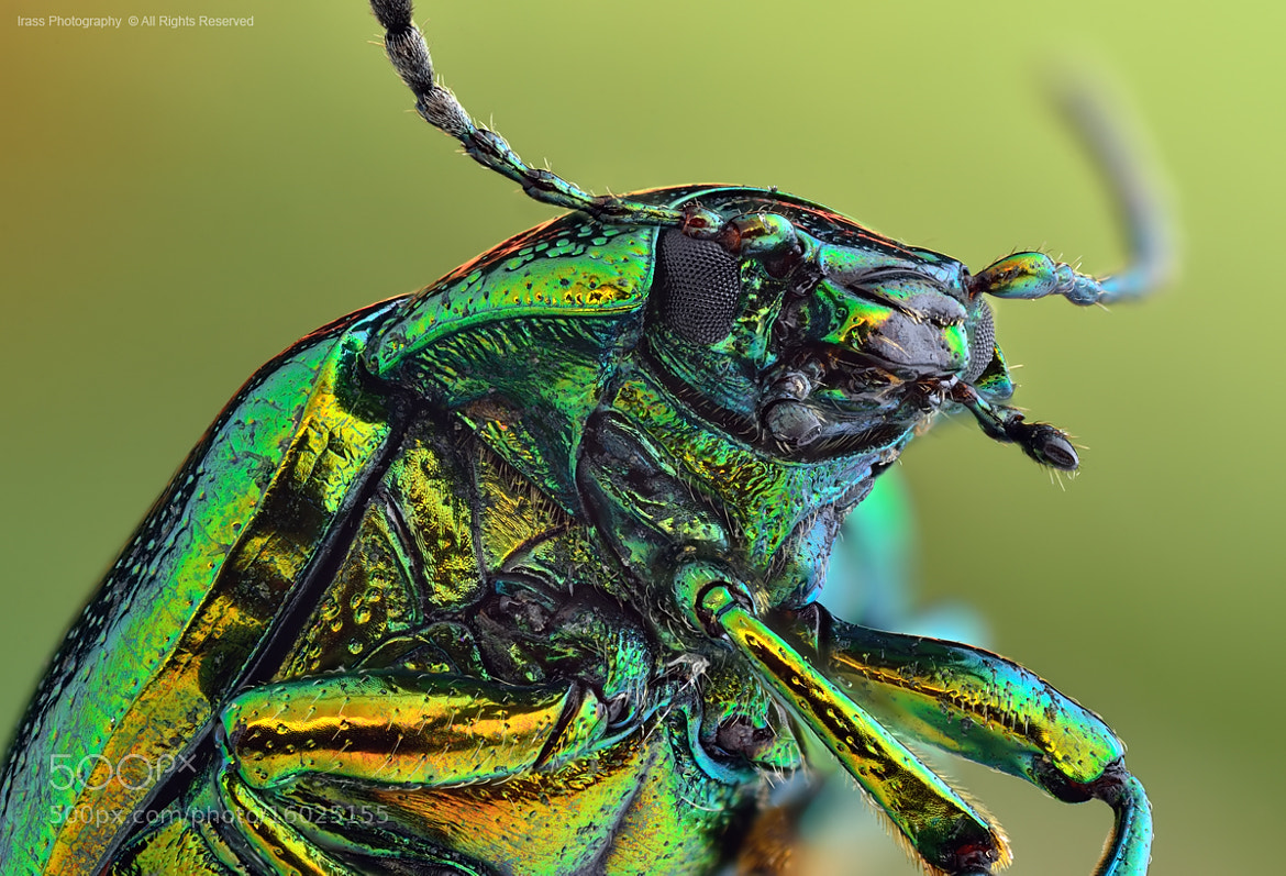 Photograph Rainbow Beetle. by ireneusz irass walędzik on 500px
