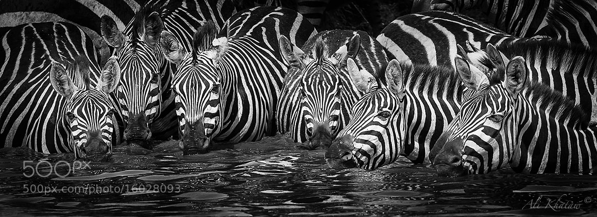 Photograph Thirsty Zebras in a Row by Ali Khataw on 500px