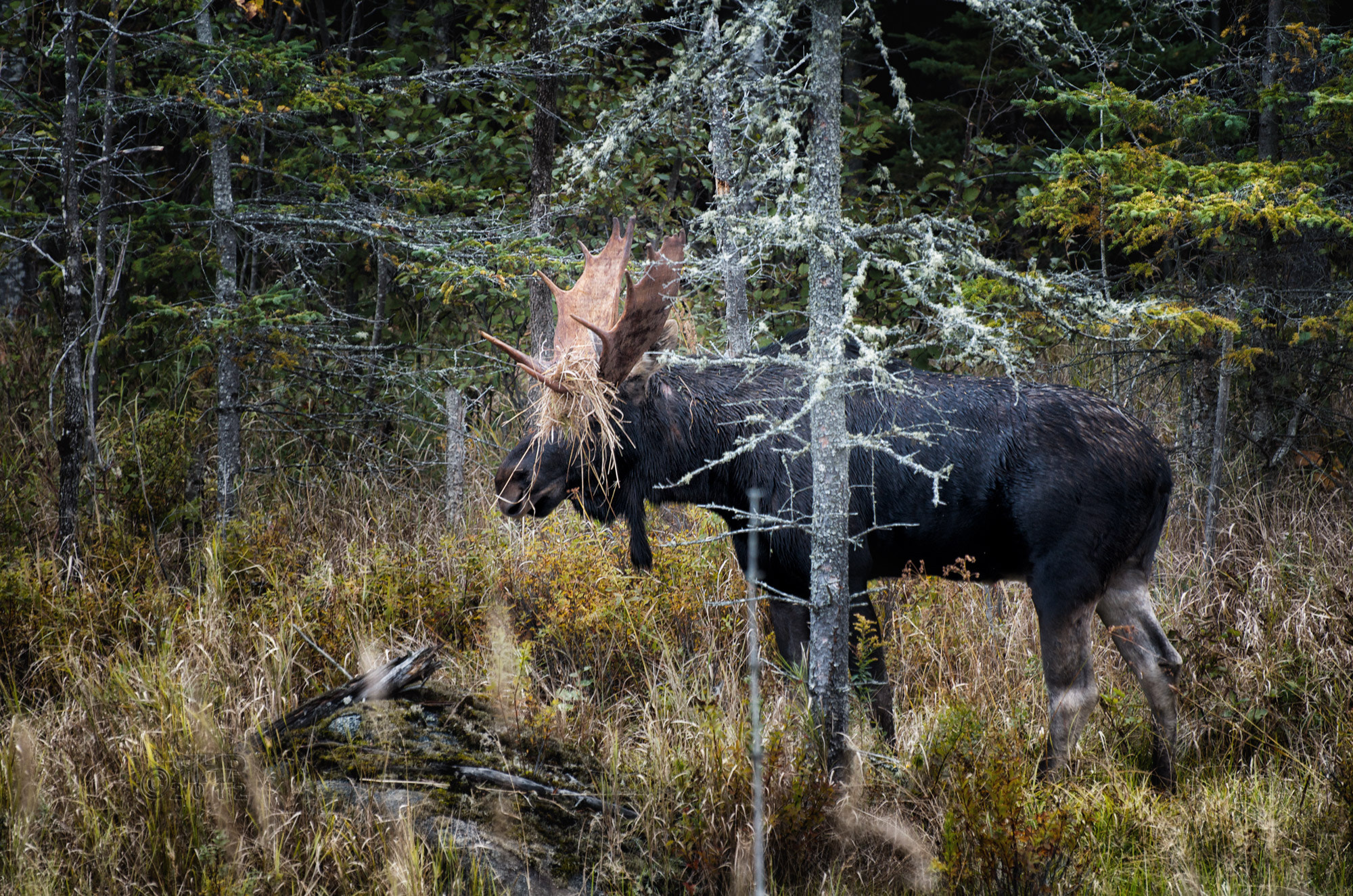 Photograph How To Hide If You're A Moose by Rob Hanson on 500px