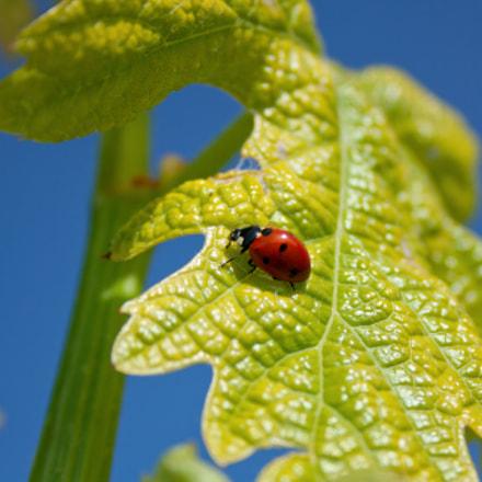 ladybird on a vine leaf @vignetivallorani