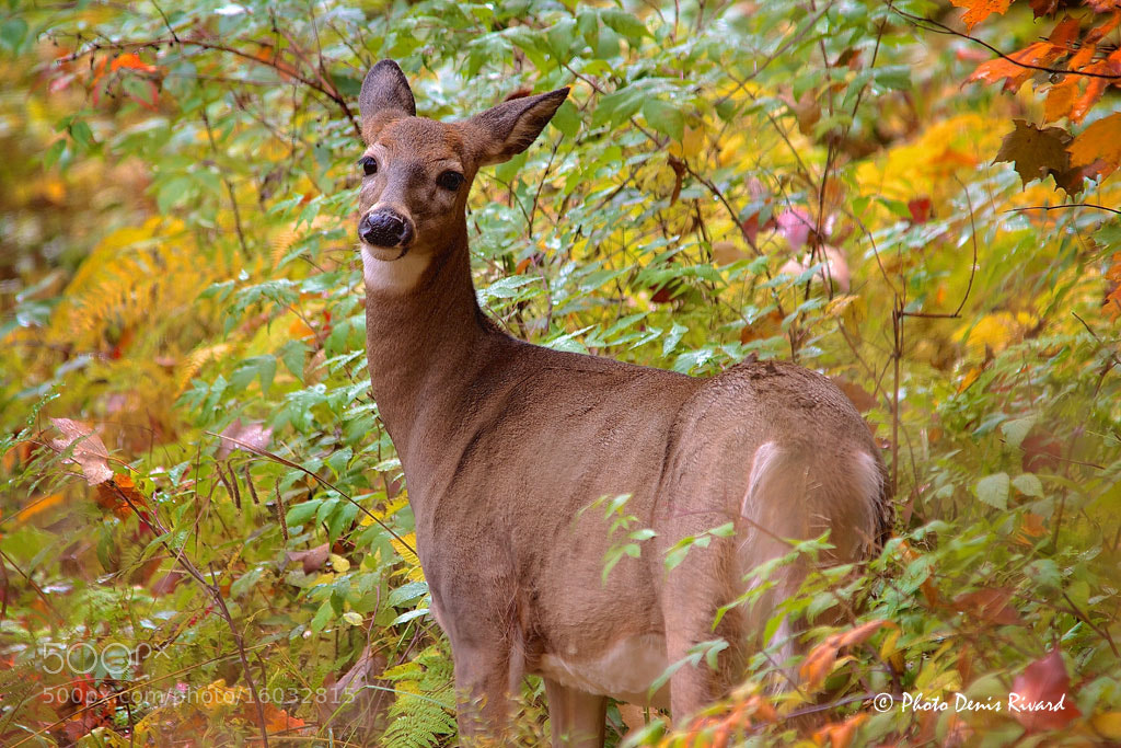 Photograph White-tail deer on alert. by Denis Rivard on 500px