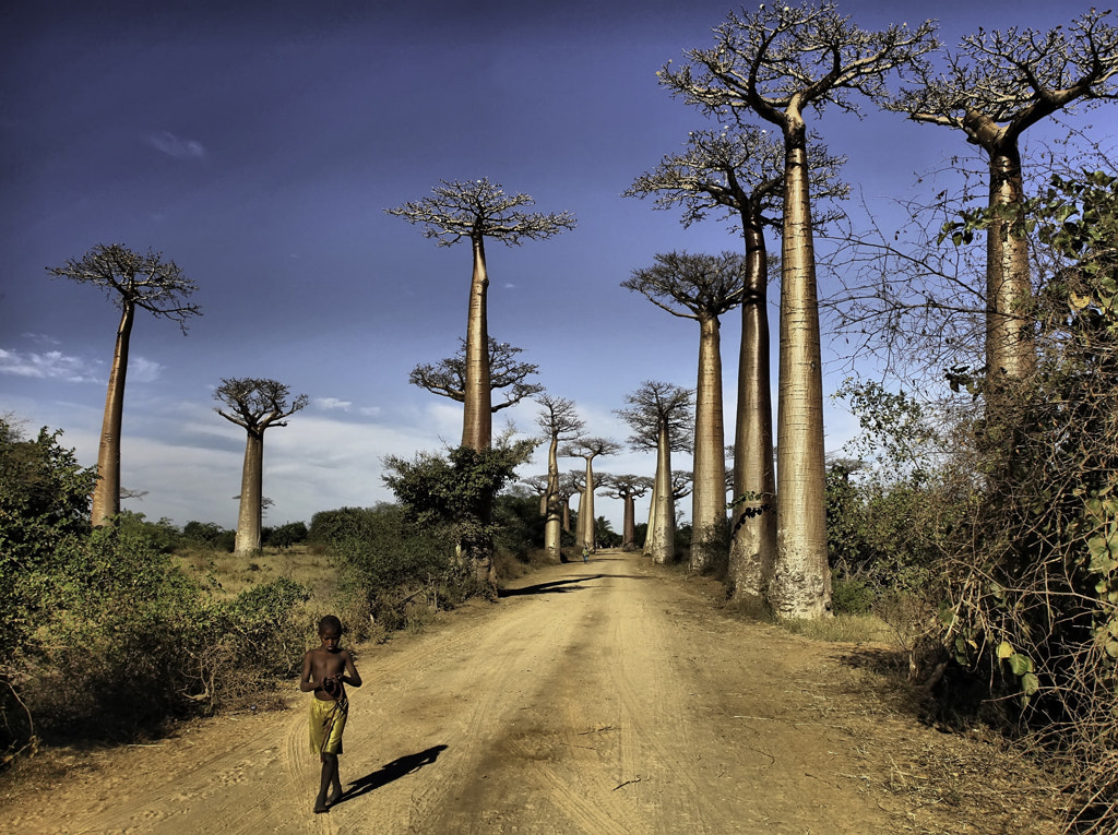 Photograph Baobab Avenue Madagascar by George Pearson on 500px