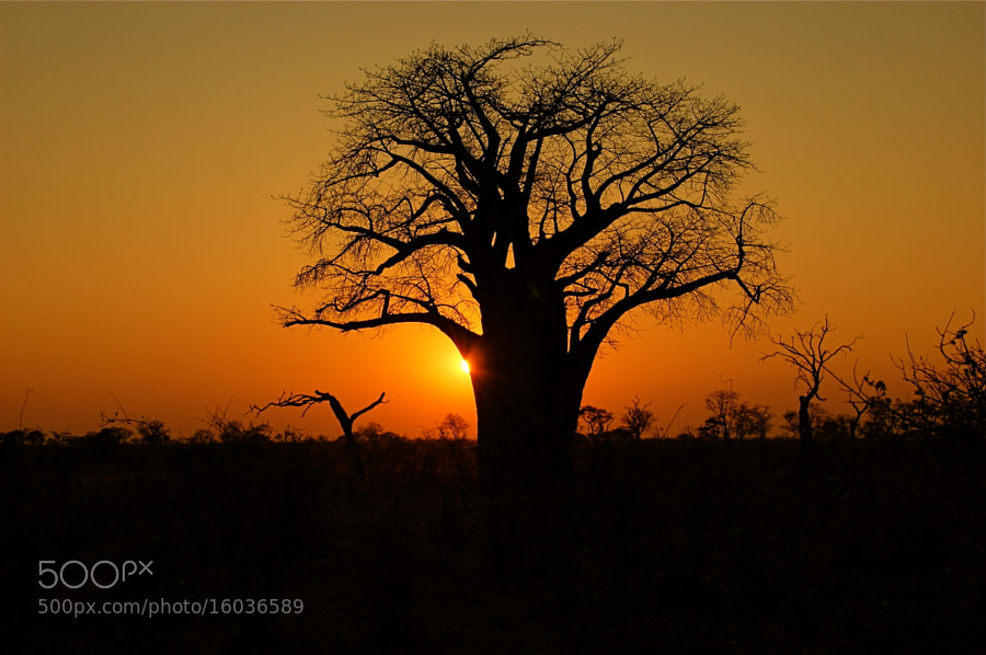 Photograph Baobab Sunset by Hari Santharam on 500px