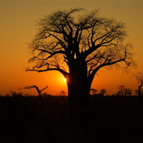 Baobab Sunset by Hari Santharam (madaboutcheetah)) on 500px.com