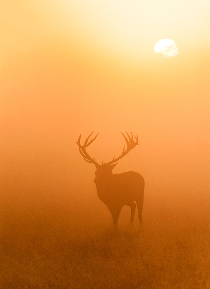 Photograph Stag at Sunrise by Geoffrey Baker on 500px