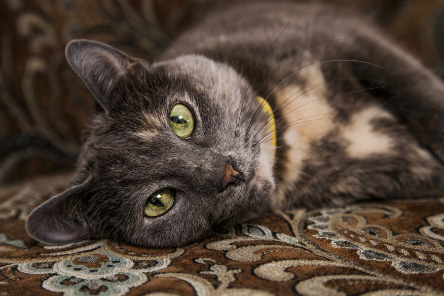 Photograph Luxurious Feline by Jeff Rhude on 500px