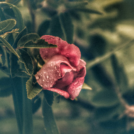 Wild Rose, Canon EOS REBEL T6S, Canon EF 75-300mm f/4-5.6 USM