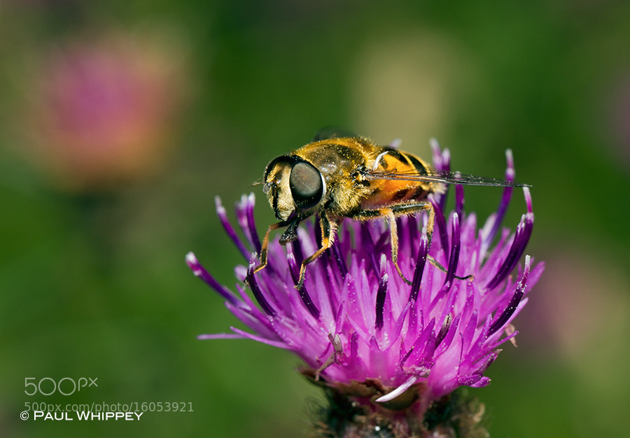 Photograph Hoverfly on knapweed flower by Paul Whippey on 500px
