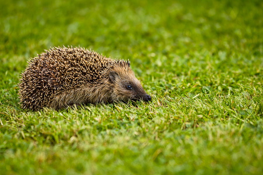 Photograph Hedgehog by Benjamin Egermann on 500px