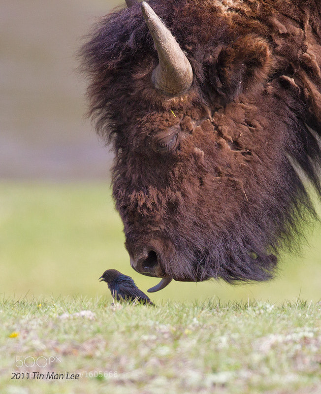 Photograph Birdie and the beast, Yellowstone National Park by Tin Man on 500px