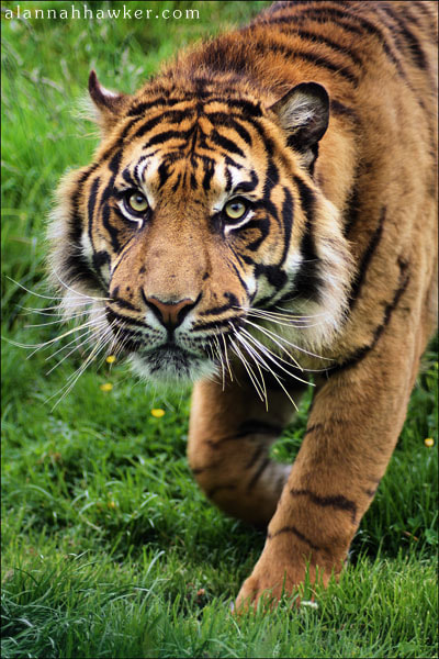 Photograph Tiger by Alannah Hawker on 500px