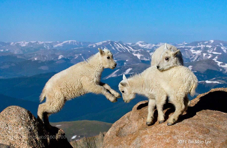 Photograph Mountain goat kids, Mount Evans, Colorado by Tin Man on 500px