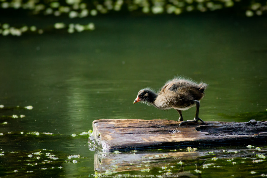 Photograph Young Moorhen Contemplates by Matthew Barnett on 500px