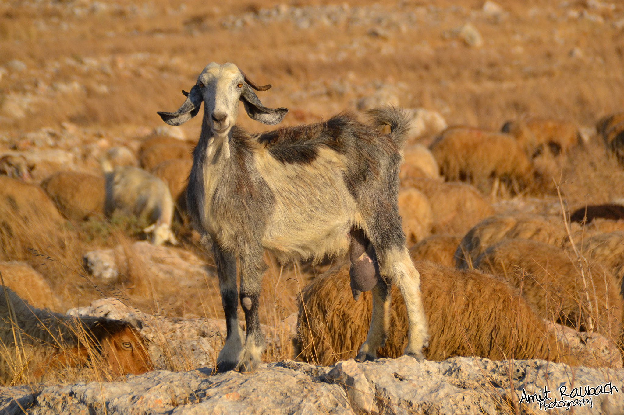 Photograph Goat by Amit Raubach on 500px