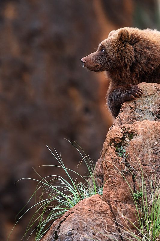 Photograph Bear on the look-out by Mark Leeman on 500px