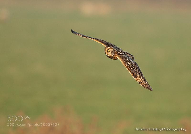 Photograph Short-eared owl Asio flammeus (Strigidae) by Peter J Bailey on 500px