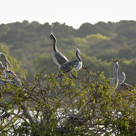 Pelicans In a Tree, Canon EOS 650D, Canon EF 28-300mm f/3.5-5.6L IS
